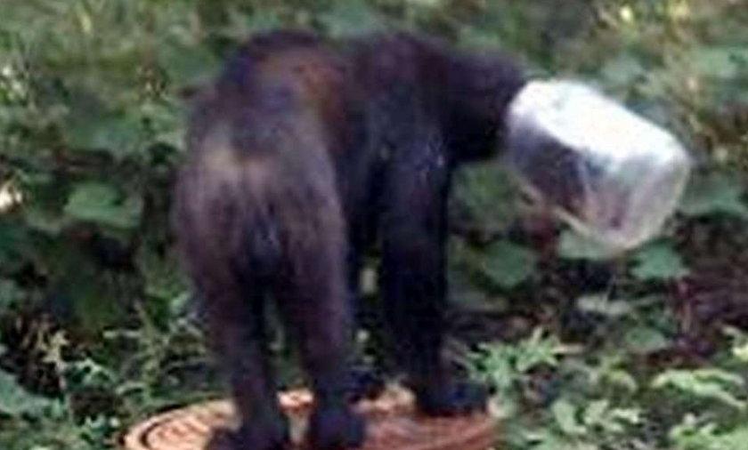 Niedźwiedź utknął w słoju