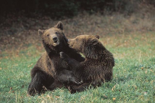 Seljani smatraju da je ubijanje medveda nužnost, iako stručnjaci kažu suprotno