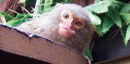 Do Chorzowa powróciły najmniejsze małpki świata