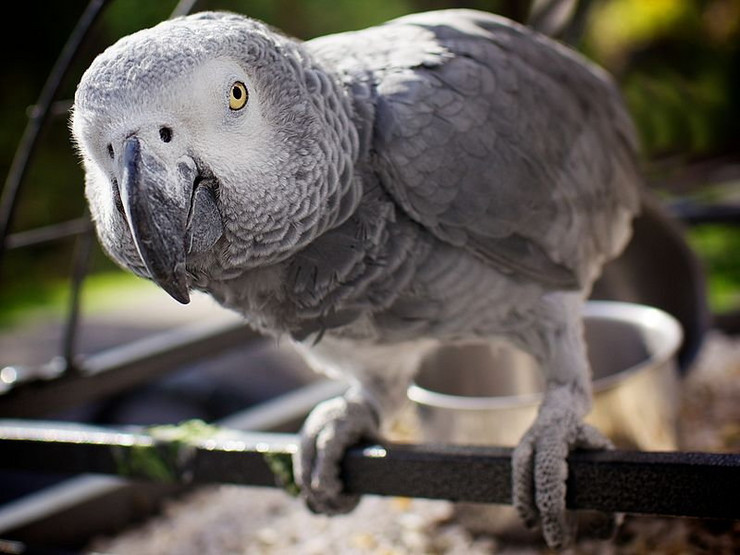 273570_africki-sivi-papagaj-zako2-wiki