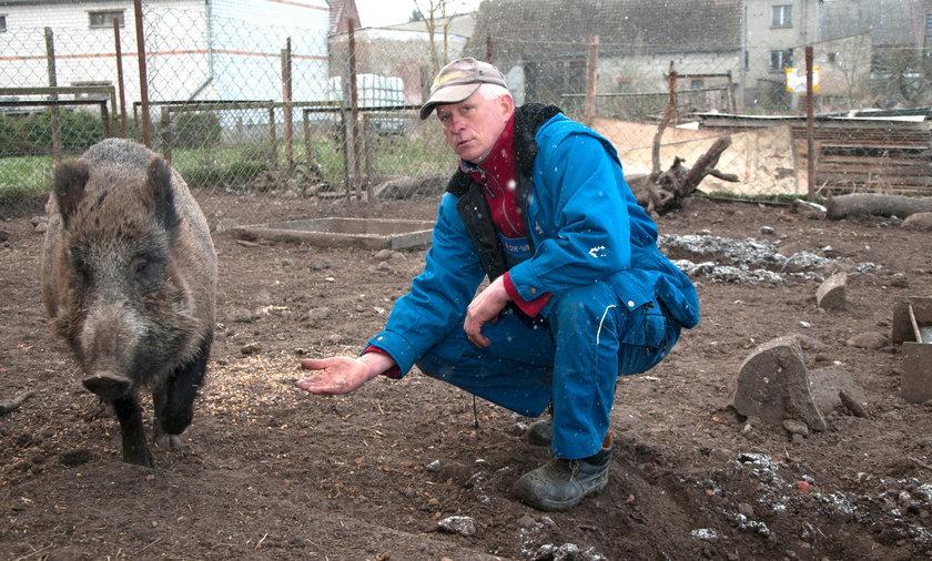 Pan Bogdan własną piersią zasłania ukochane dzikie świnie!