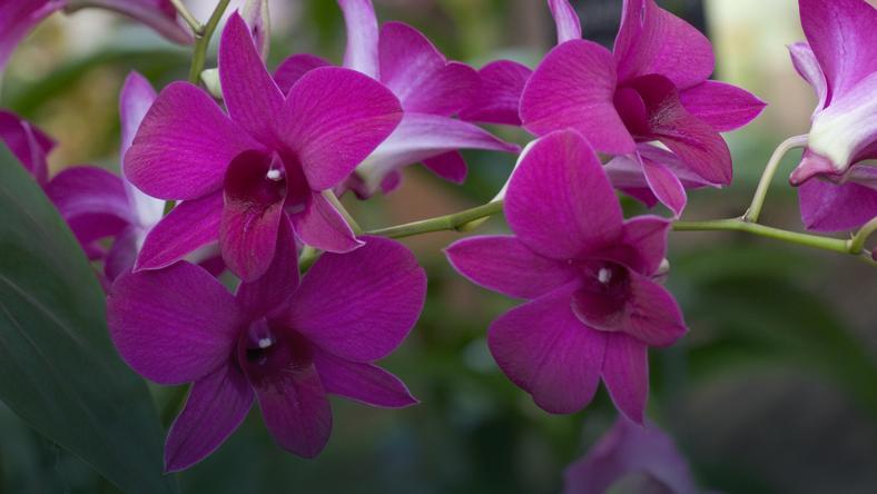 Storczyk Dendrobium