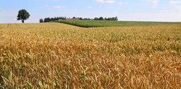 Zmiany cen zbóż na rynkach. Nadchodzą podwyżki
