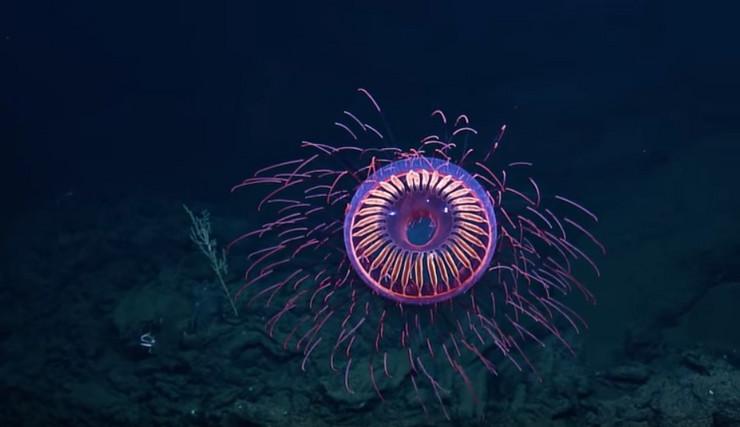 meduza Halitrephes maasi