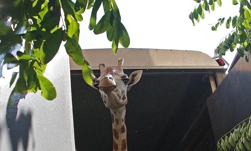 Żyrafy w Zoo w Zamościu