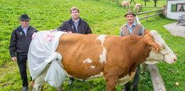 Krowy mają nosić pieluchy