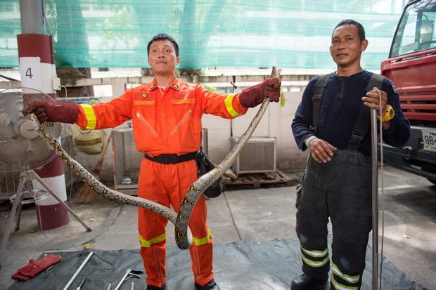 Strażacy ze złapanym wężem