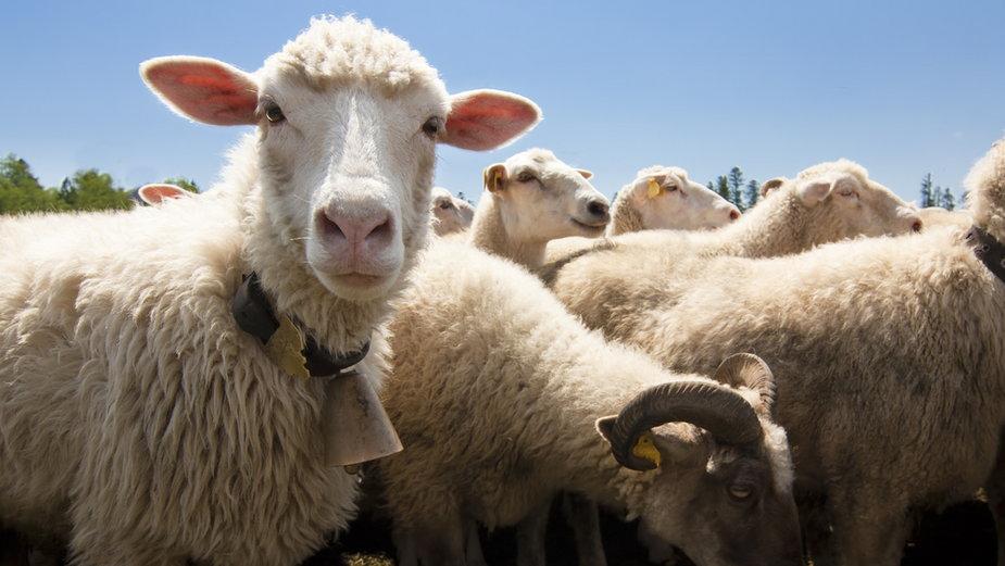 Bieszczady: sezon był dla hodowców owiec udany