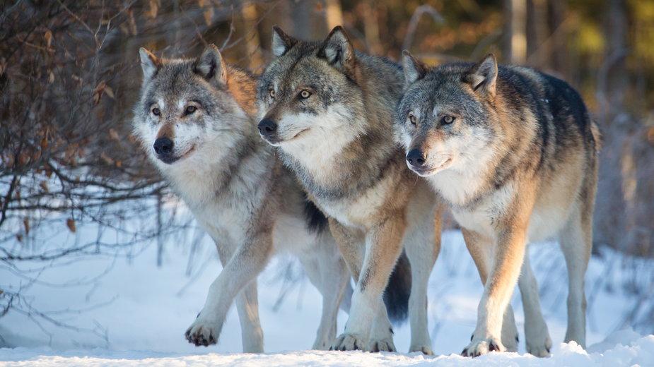 Podkarpackie: dwóch pilarzy zostało zaatakowanych przez wilki