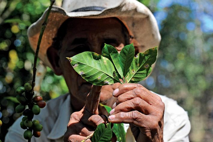 HONDURAS-COFFEE-BLIGHT-ROYA