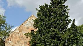Cis pospolity z Henrykowa Lubańskiego to najstarsze drzewo w Polsce