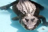 aligator Muja