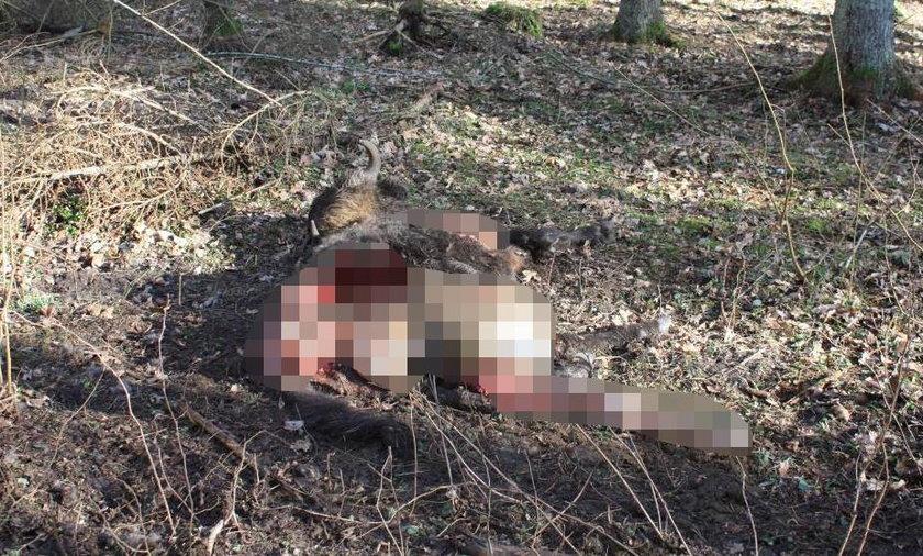 """Tragiczne wydarzenie na Podlasiu. Wilki zaatakowały 'króla Puszczy"""""""