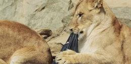 Spodnie projektowane przez dzikie zwierzęta
