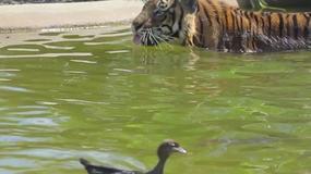 Kaczka vs. tygrys - 1:0. Zobacz zabawne nagranie