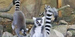 Lemur rozpustnik ma cztery żony
