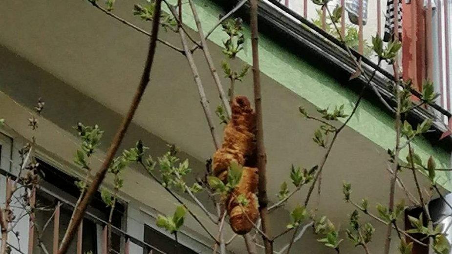 """Kraków. Kobieta wystraszyła się """"laguna"""" wiszącego na drzewie. Okazał się nim wyrzucony przez okno, słodki rogalik"""