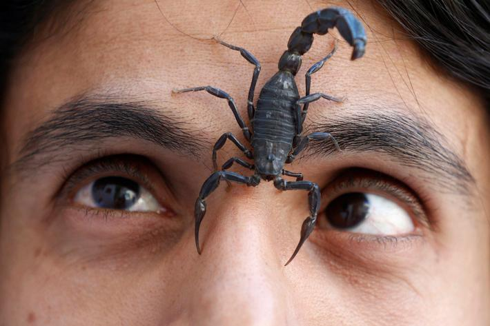 A scorpion walks on the face of Palestinian man Nabeel Mussa, who keeps scorpions and snakes as a ho
