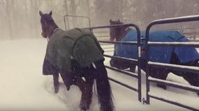 Właściciel wypuścił konie na zewnątrz. Nikt nie spodziewał się takiej reakcji