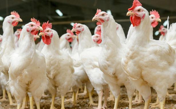 W najczarniejszym scenariuszu grypa pochłonie 10 mln sztuk drobiu