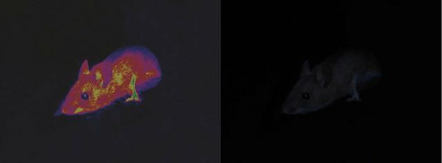 Miš noću, levo kako ga vidi zvečarka, a desno kako mi vidimo