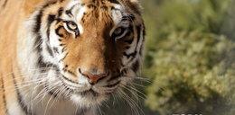 Tygrysy znów się uśmiechają!