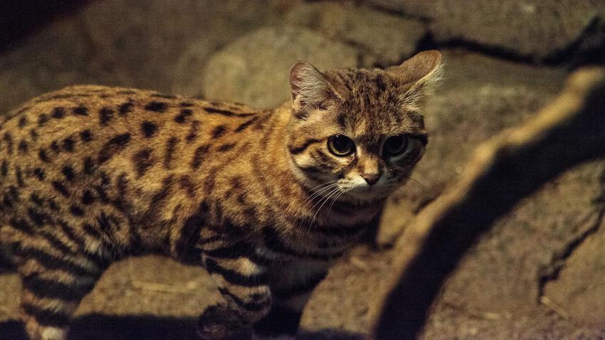 Kot Czarnołapy To Najbardziej Niebezpieczny Kot Na świecie