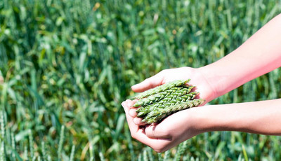 green barley plus price