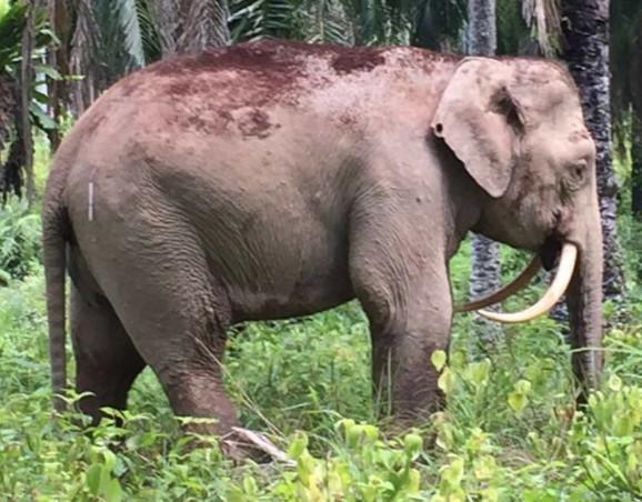 Slon Sablja