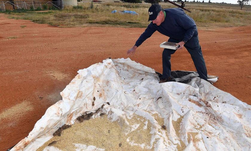Na zdjęciu australijski rolnik odkrywa płachtę z wysypanym ziarnem. W ten sposób stara się wyłapywać wszechobecne myszy.