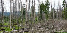 Polskie lasy czeka zagłada?!