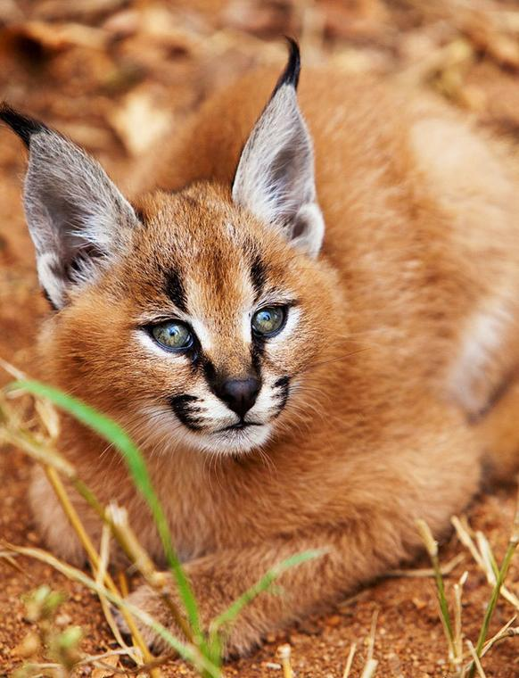 Najpiękniejszy Kot Na świecie Oto Karakal Stepowy
