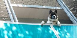 Psa w upały na balkonie czy na uwięzi - Gdy zobaczymy taką sytuację, trzeba reagować! Oto jak