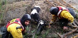 Strażacy ratowali cielaka