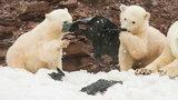 Szokujące zdjęcia białych niedźwiedzi