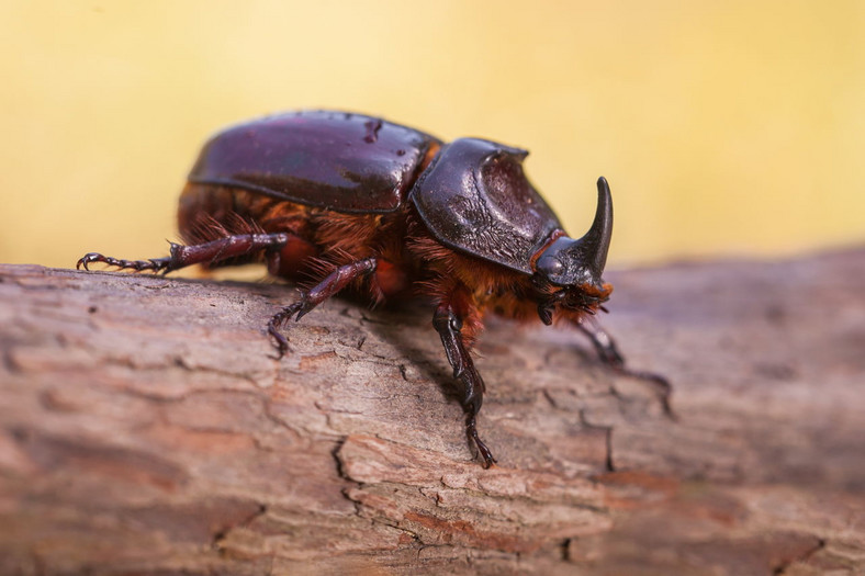 Rhinoceroses Beetle. (Animal Sake)