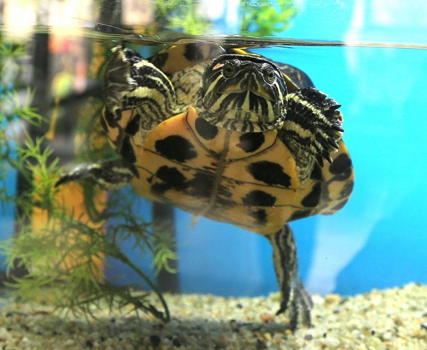 Wybierz imię dla żółwicy