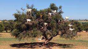 Co wspólnego mają kozy chodzące po drzewach i kosztowny olej arganowy?