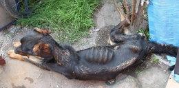 Zagłodził psa prawie na śmierć