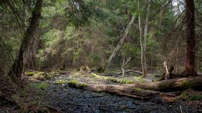 Czasowy zakaz wstępu do lasów nadleśnictwa Białowieża