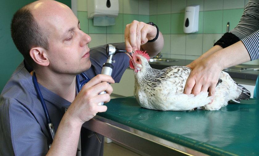 Kurka Teofila przeszła operację w lecznicy dla zwierząt Ada