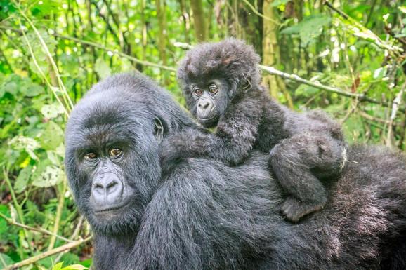 Planinske gorile su ugrožena vrsta
