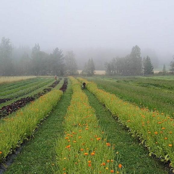 Branje na organskim plantažama samo ukoliko ispunjavate određene uslove