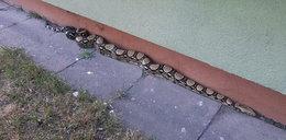 Groza na osiedlu! Wąż-gigant grasował pod blokiem