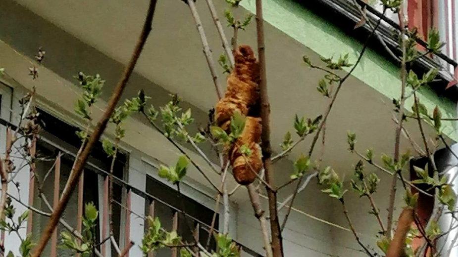 Legwan na drzewie?