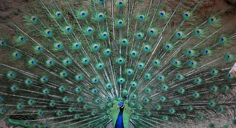 A beautiful proud peacock. (Amazing Creatures)