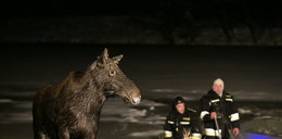 Strażacy uratowali łosia od śmierci w lodowatej rzece