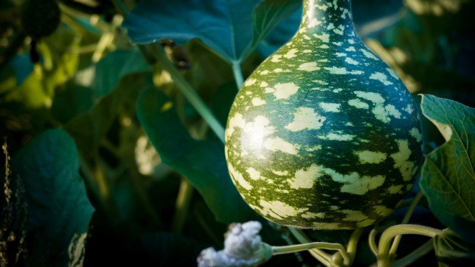 Tykwa ma ciekawe kolory oraz oryginalny kształt - Micha/stock.adobe.com