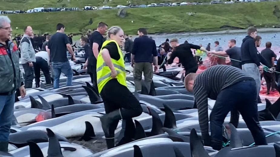 Rzeź delfinów na Wyspach Owczych miała miejsce w weekend
