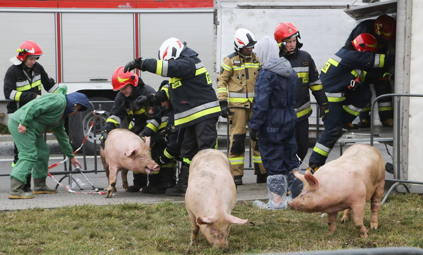 Wypadek. Przewrócił się tir ze świniami